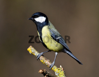 Meise; Kohlmeise; great tit; great titmouse; Parus major;
