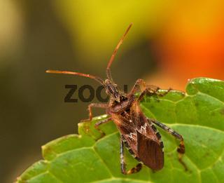 Amerikanische Kiefernwanze; Zapfenwanze; Leptoglossus occidentalis