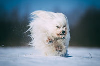 Little white dog is having fun in the snow