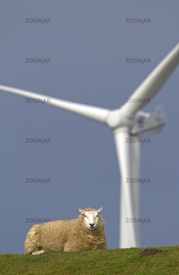 Sheep with wind power station