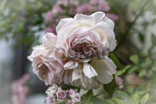 Rosenblüten, rosa