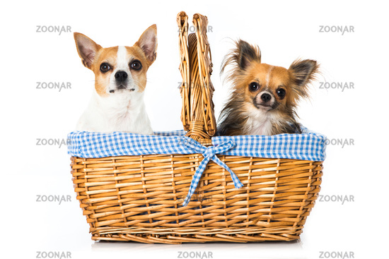 Chihuahua dogs in a basket
