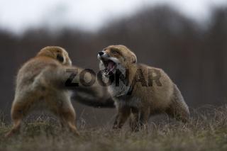 uneinig... Rotfüchse *Vulpes vulpes* geraten während der Ranzzeit in Streit