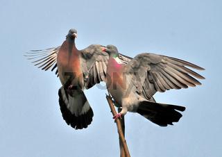 Tauben im Flug