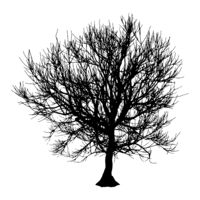 Black dry tree winter or autumn silhouette on white background. Vector eps10 illustration