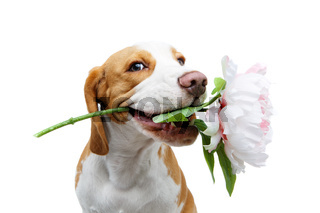 beautiful beagle dog with flower