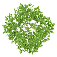 top view of plum tree isolated on white background