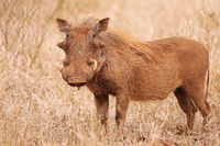 Warthog, South Africa, wildlife, red from the sand, Kruger Nationalpark
