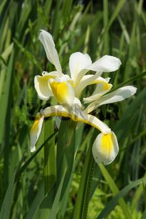 Iris ochroleuca, Schmetterlingsiris