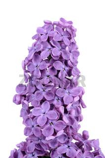 violetter Flieder, Syringa