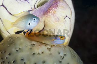 Schwarzpunkt-Kammzaehner Schleimfisch, Indonesien