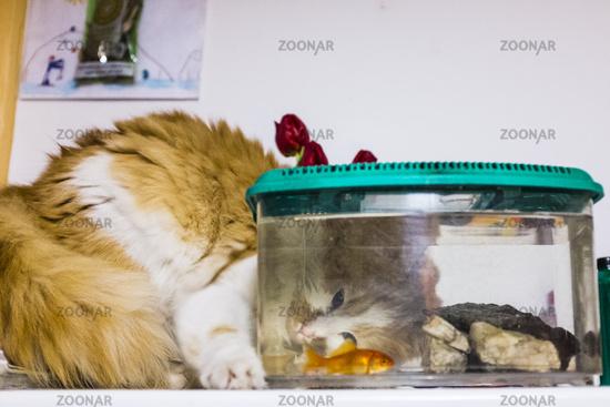 cat looks with great curiosity goldfish in the aquarium