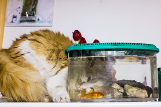cat looks with great curiosity goldfish in the aquarium