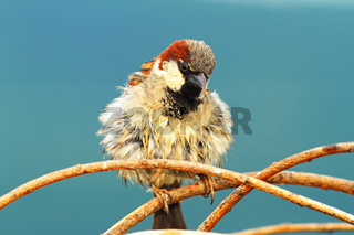 cute house sparrow male perched on twig ( Passer domesticus )