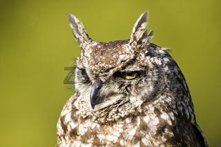 Fleckenuhu, Bubo africanus, Spotted Eagle-owl