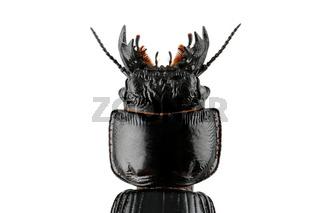 Burrowing ground beetle