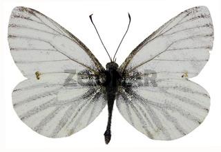 Green-veined White on white Background  -  Pieris napi (Linnaeus, 1758)