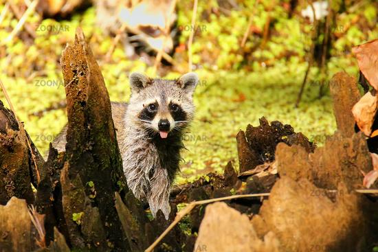 Raccoon in Corkscrew swamp, Florida