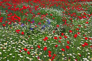 Wildblumenfeld, Provence, France