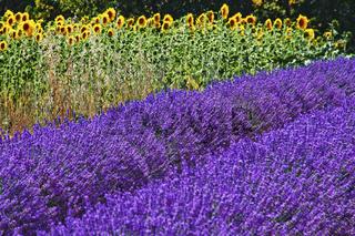 Lavendel und Sonnenblumen
