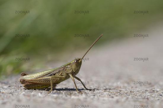 Grasshopper on the Road, Chorthippus dorsatus