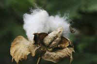 Baumwolle, Fruchtstand, Cotton