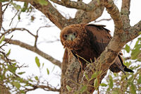 juvenile Bateleur, Kruger NP, South Africa