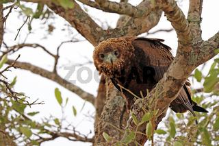 Jungtier eines Gauklers, Kruger National Park, Südafrika, juvenile Bateleur, Kruger NP, South Africa