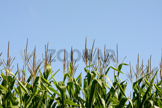 Corn Stalks 1