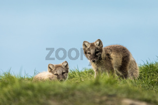 Arctic fox cubs resting in the green grass Svalbard