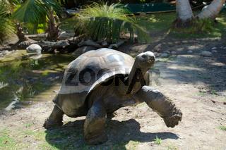 Riesenschildkröte auf der Seychellen-Insel Curieuse