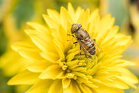 A hover fly pollinating a flower