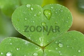 Herzförmiges Blatt vom Waldsauerklee (Oxalis acetosella)