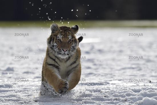 Siberian tiger, Panthera tigris tigris