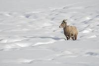 between little hills of snow... Bighorn Sheep *Ovis canadensis*