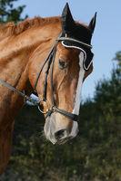 warmblood horse