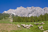 Flock of sheep in the Dolomites