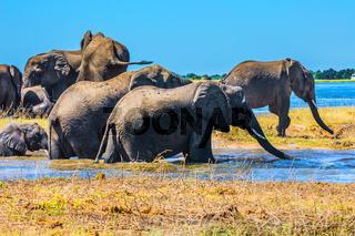 Herd of African elephants crossing river