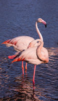 Pair of pink flamingos in park of Camargue