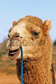 close up of camel