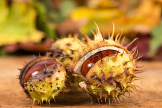 Closeup with horse chestnuts in shell and autumn background