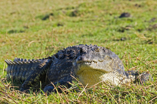Nilkrokodil (Crocodylus niloticus) am Ufer vom Chobe Fluss, Chobe River, Chobe National Park, Botswana, Afrika, Nile crocodile at riverside, Africa