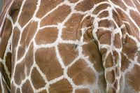 Curious detail of a giraffe
