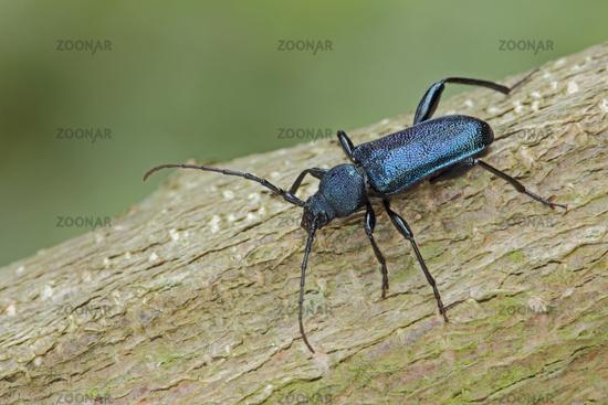 violet longhorn beetle (Callidium violaceum)