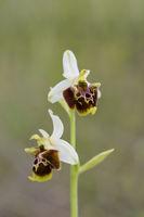 Ophrys untchjii, Untchjs Ragwurz