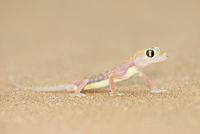 Namibgecko im Duenensand