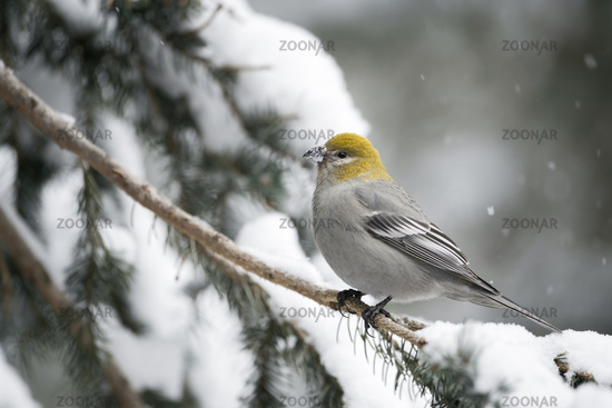 female in winter... Pine grosbeak *Pinicola enucleator*