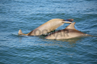 Mother and baby Common bottlenose dolphins diving
