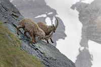 Alpine Ibex or Steinbock (Capra ibex), fight, Grossglockner, Hohe Tauern National Park, Tyrol, Austr