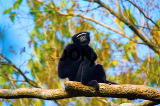 Hoolock Gibbon (male), Hoolock hoolock, Gibbon wildlife sanctuary
